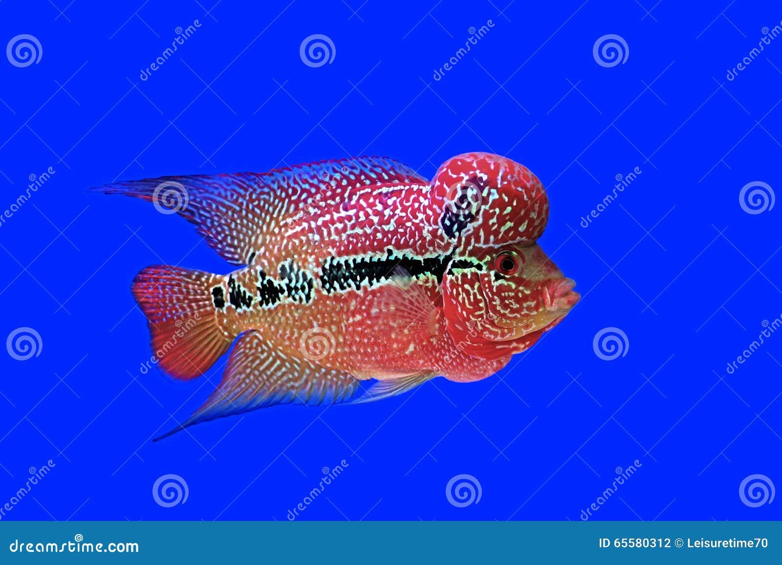 Cichlidae de Flowerhorn ou peixes do cichlasoma