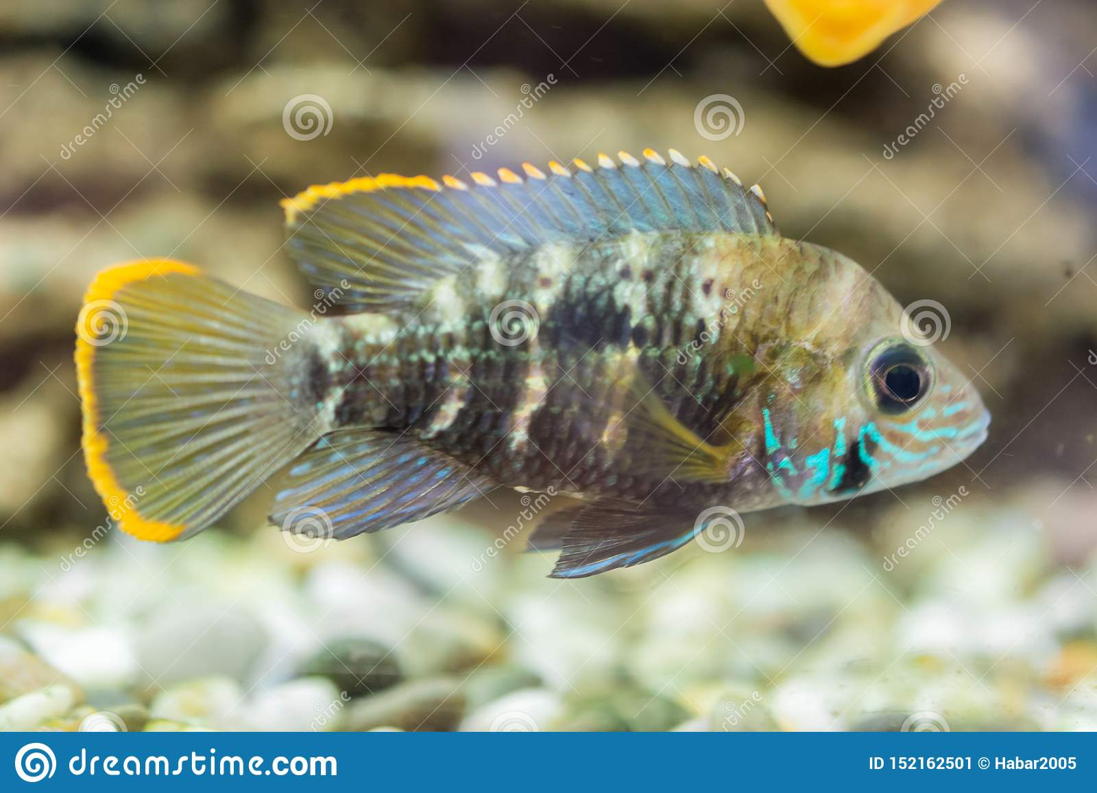 Cichlidae do an?o dos peixes do aqu?rio O nijsseni de Apistogramma é uma espécie de peixes de cichlidae, endêmico à água preta lo