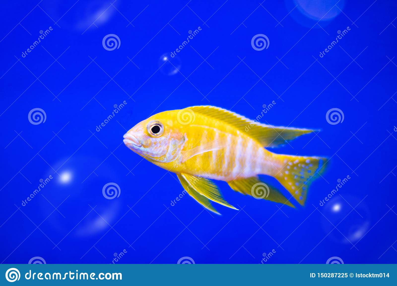 Cichlids fish on underwater background with bubbles. Yellow colors