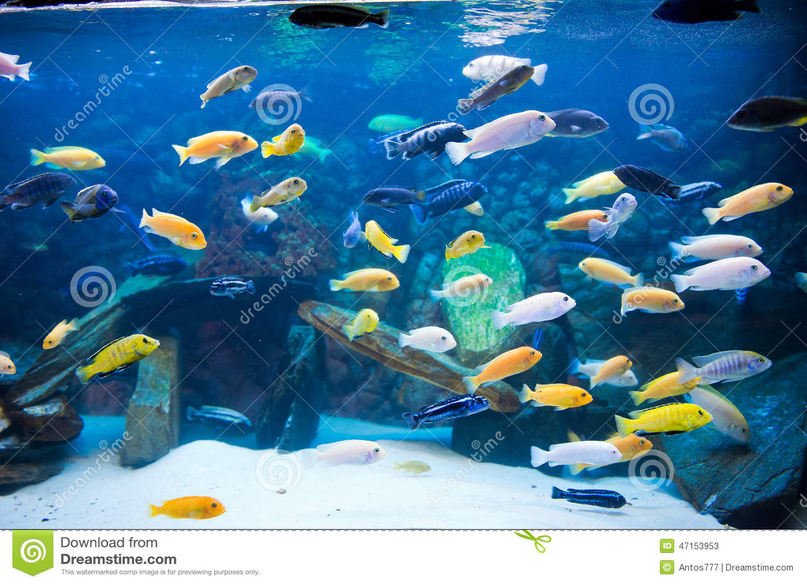 Cichlids stock photo image 47153953 for Lake malawi fish
