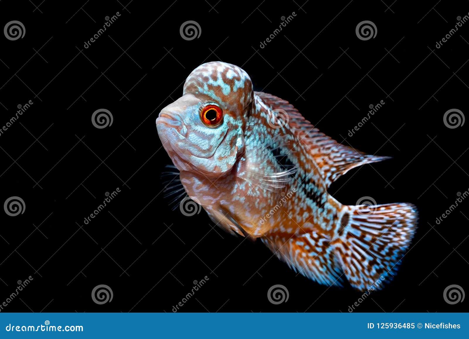 Cichlids Kingkamfa In The Aquarium Stock Image Image Of Fish