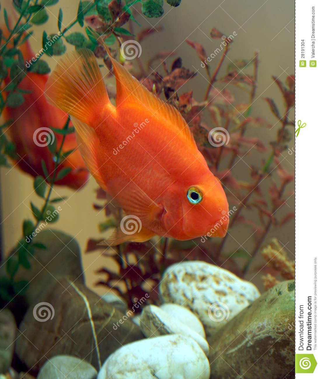 how to breed red parrot fish