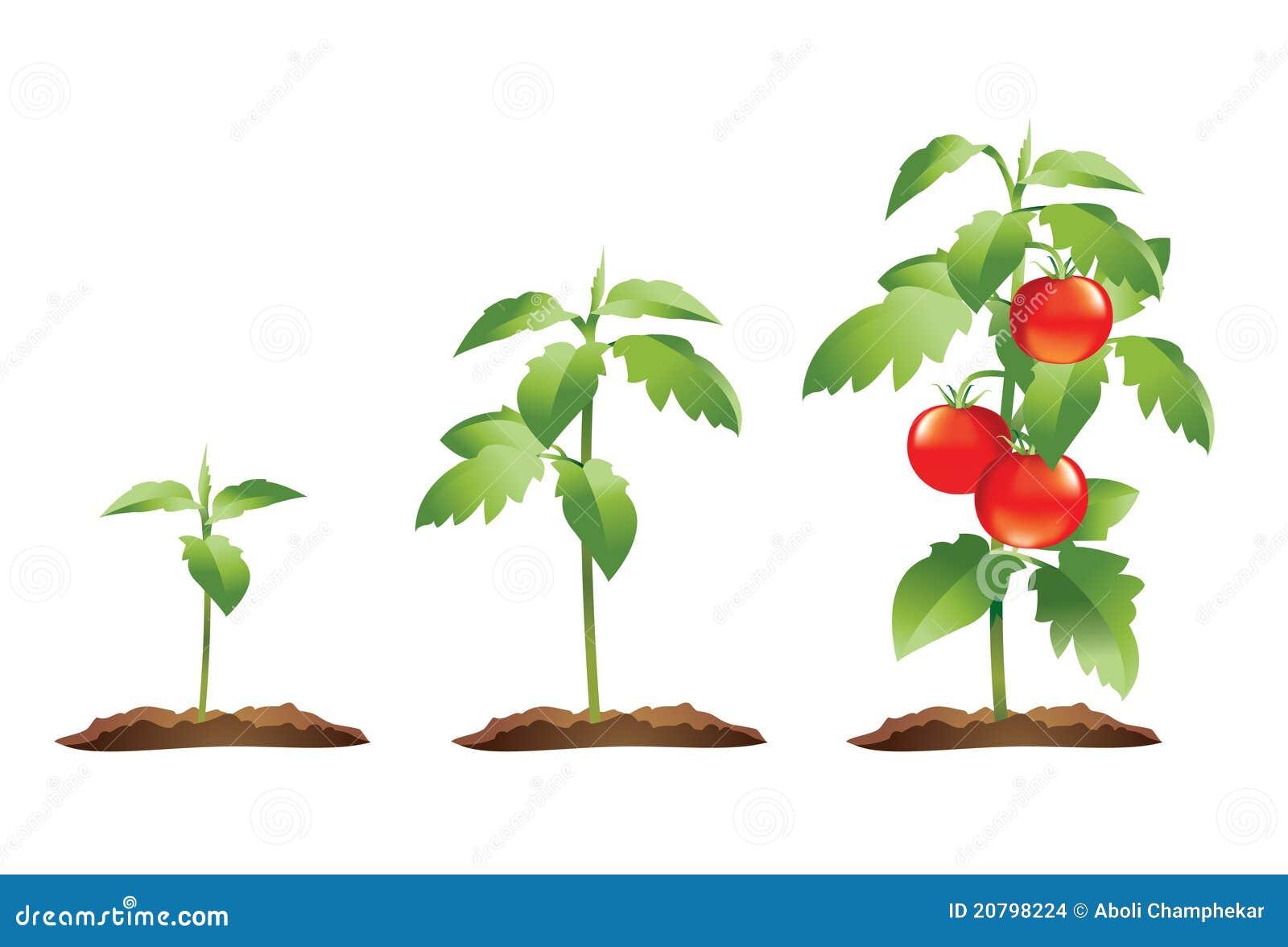 Ciclo de crescimento da planta do tomate