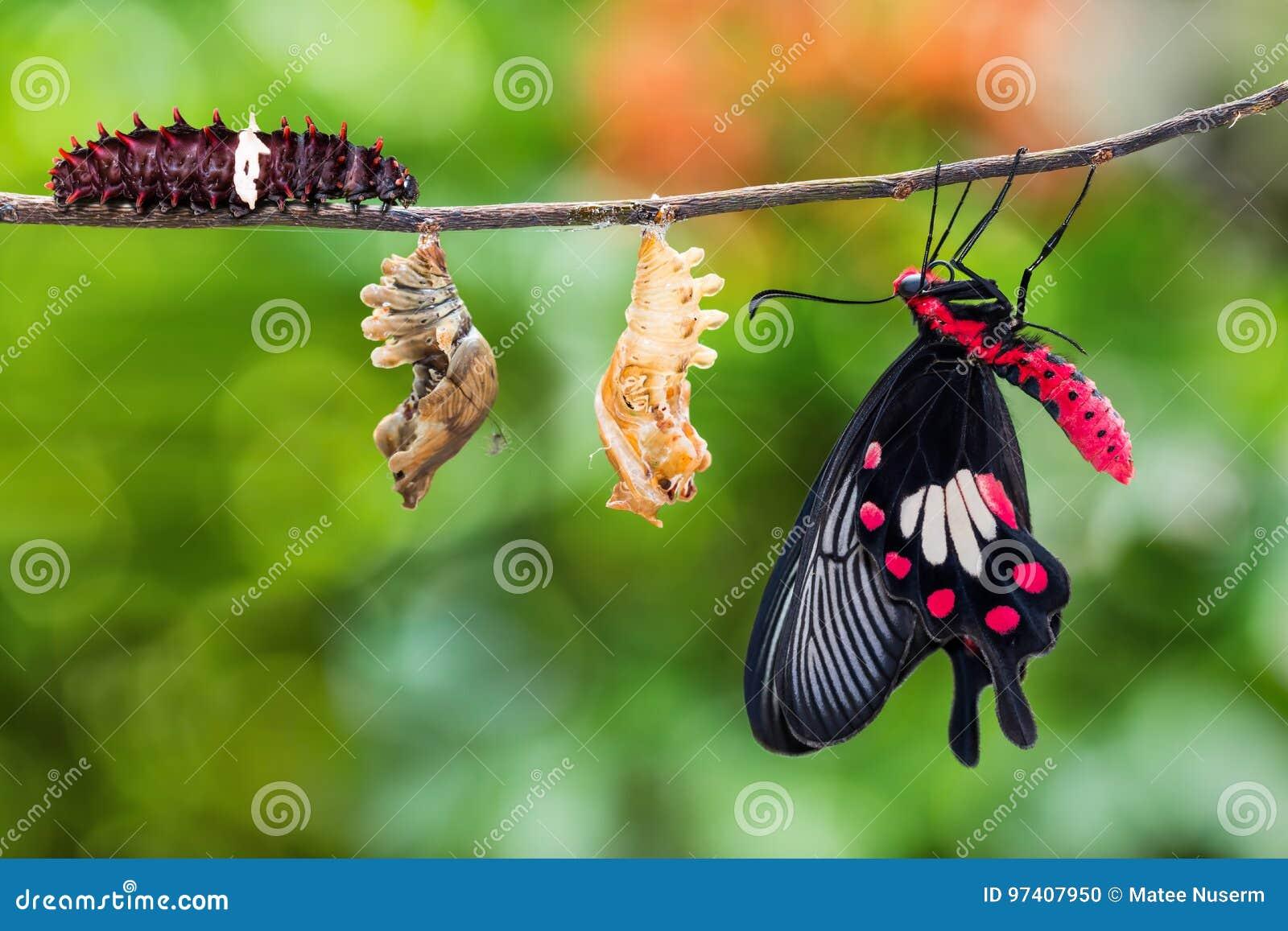 Ciclo de vida común de la mariposa de los aristolochiae de Rose Pachliopta