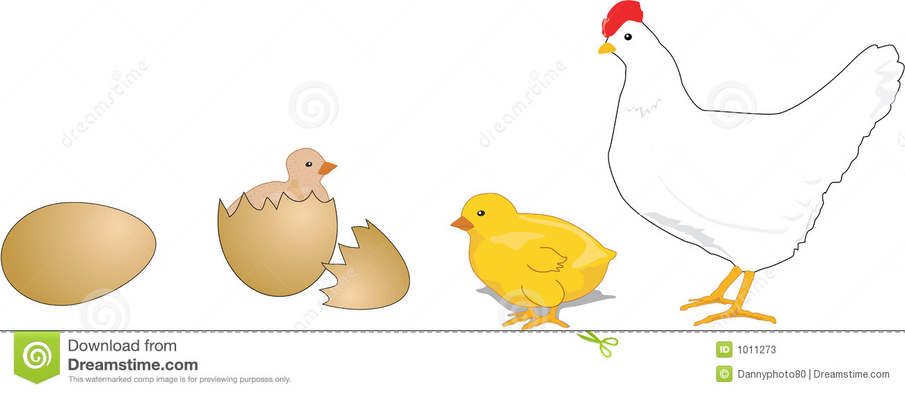 Baby Chick Life Cycle of a Chicken