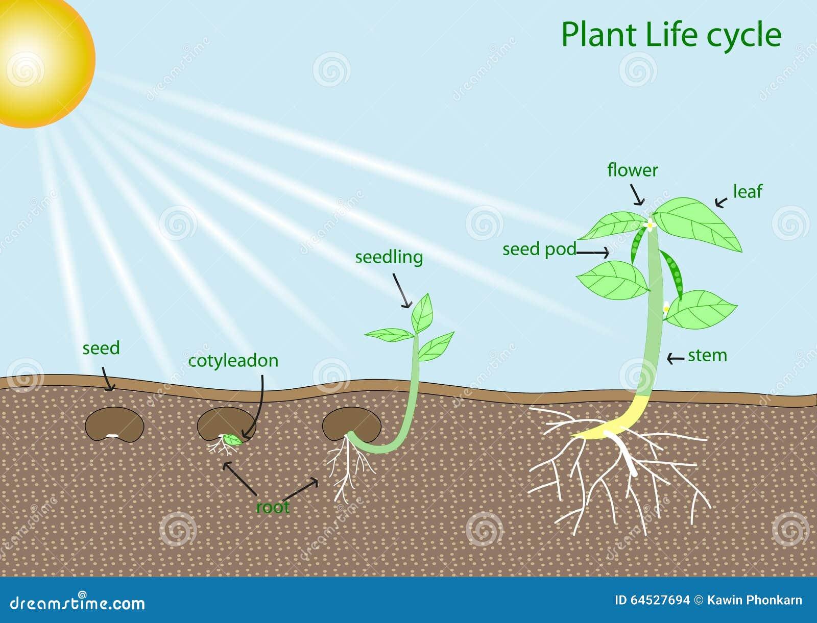 Stock De Ilustraci%C3%B3n Ciclo De Vida De La Planta Image64527694 on Basic Plant Life Cycle