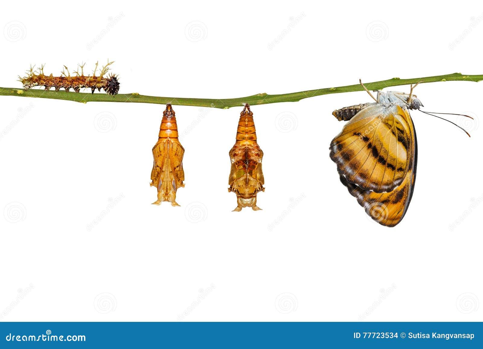 Ciclo de vida isolado da borboleta segeant da cor que pendura no galho