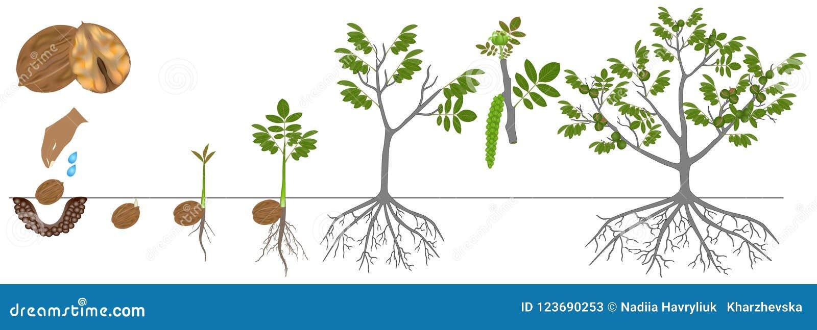 Ciclo di crescita di una pianta di una noce isolata su un fondo bianco