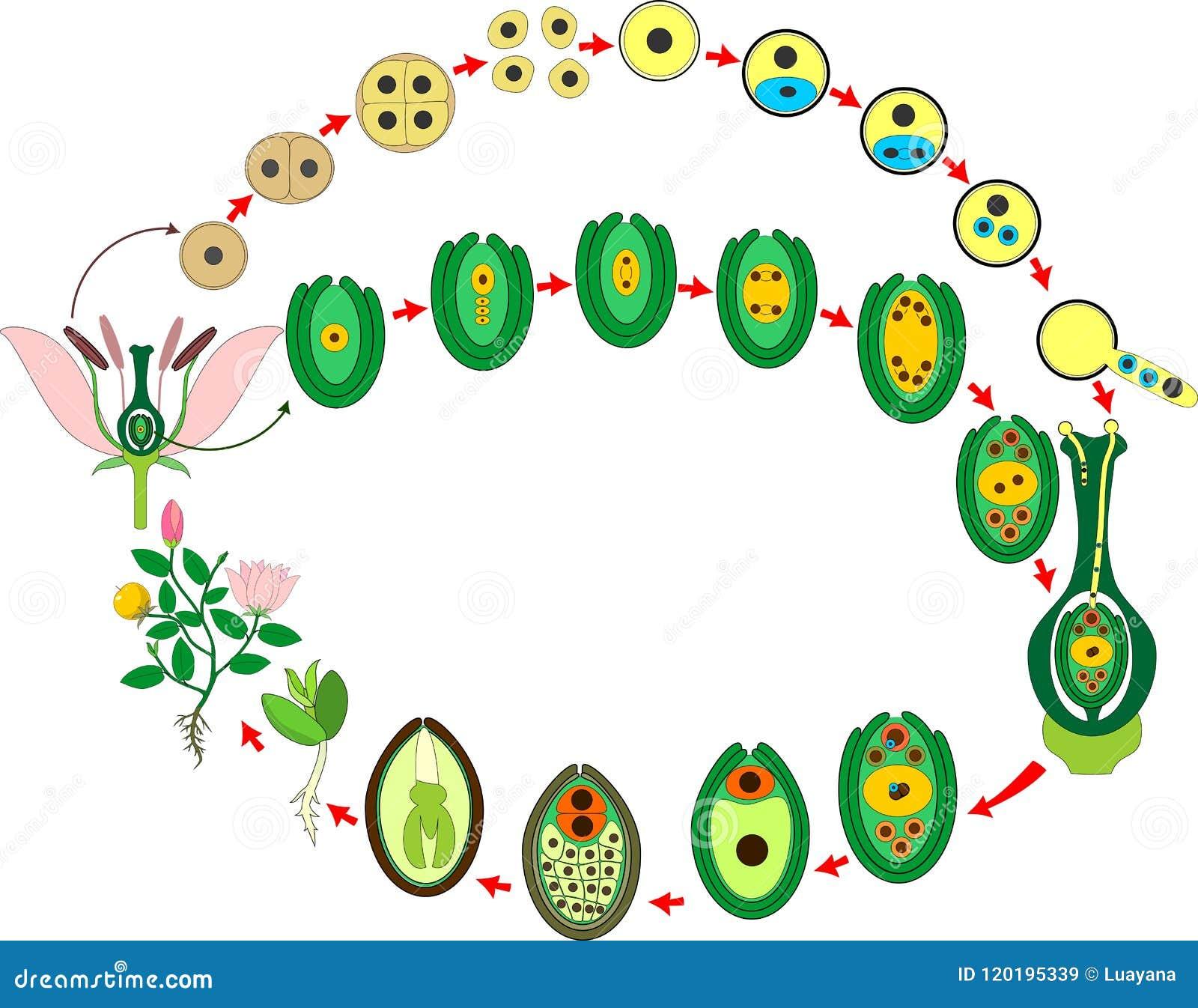 Ciclo di flora dell angiosperma Diagramma del ciclo di vita della pianta di fioritura con doppia fecondazione