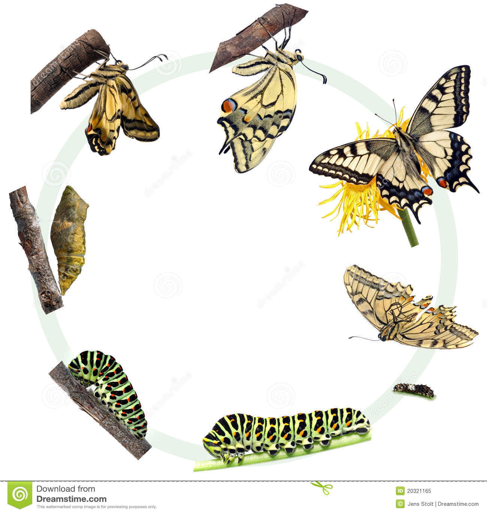 Ciclo di vita della farfalla di Swallowtail