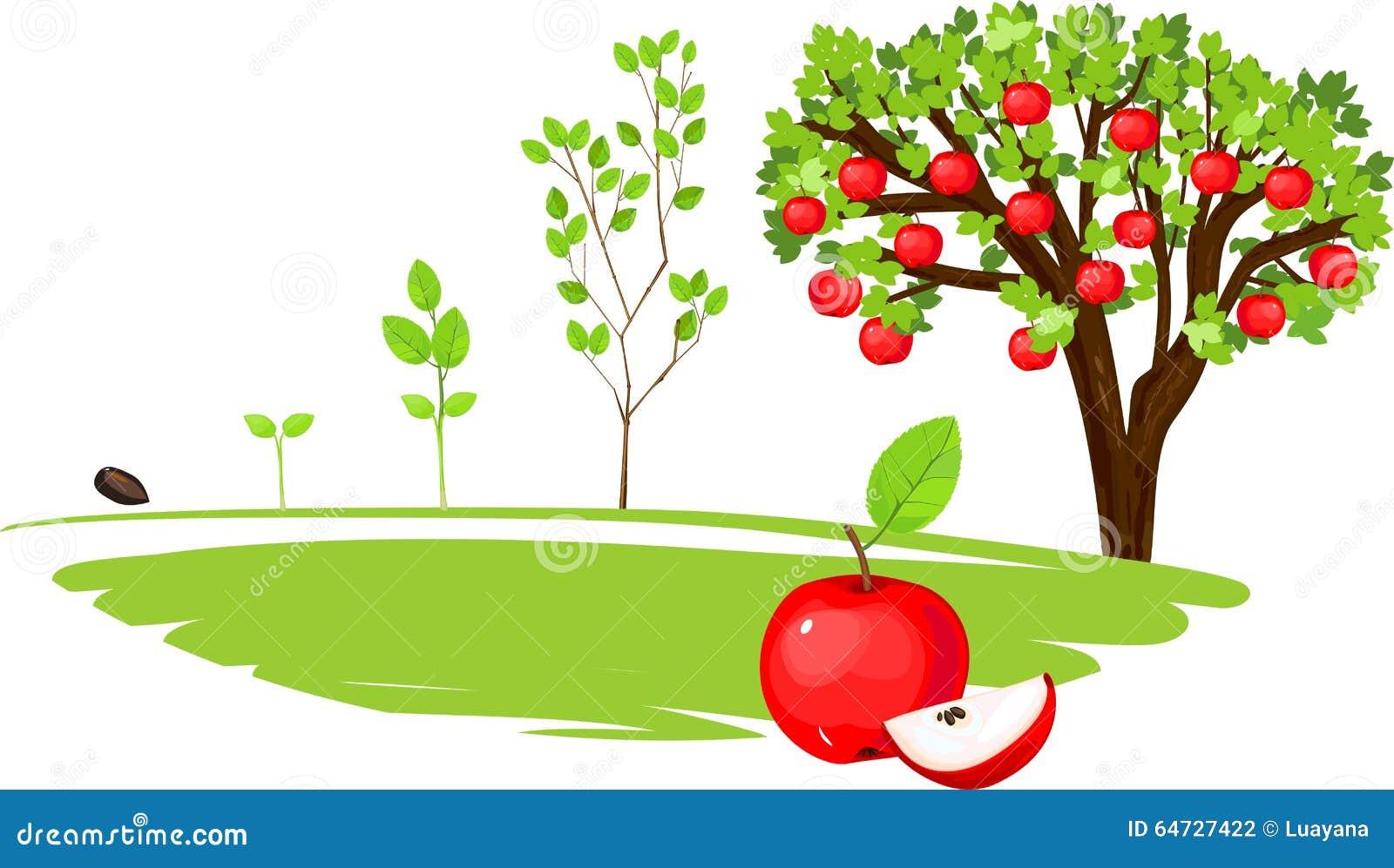 Ciclo di vita di di melo
