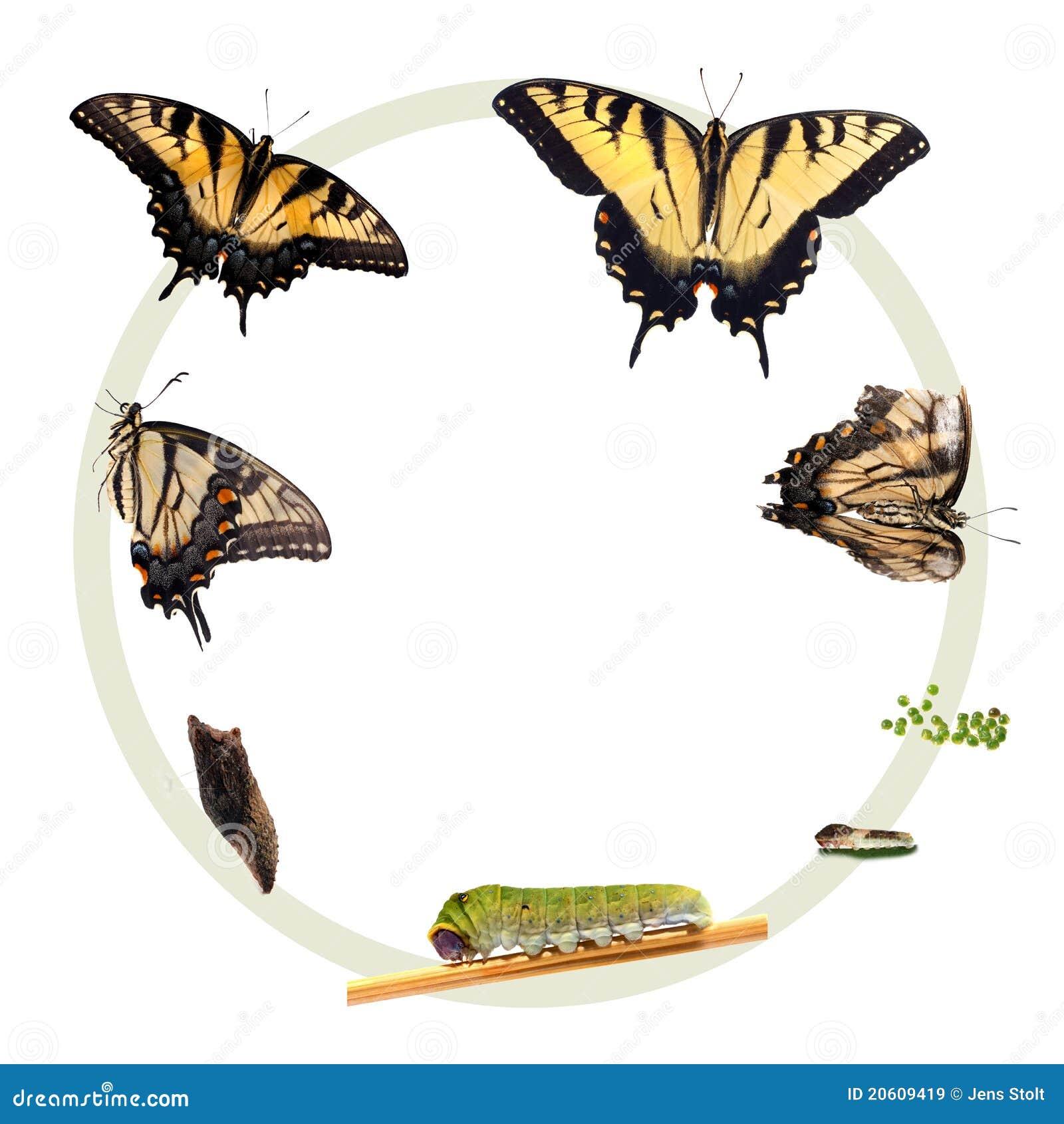 Ciclo vital del tigre Swallowtail