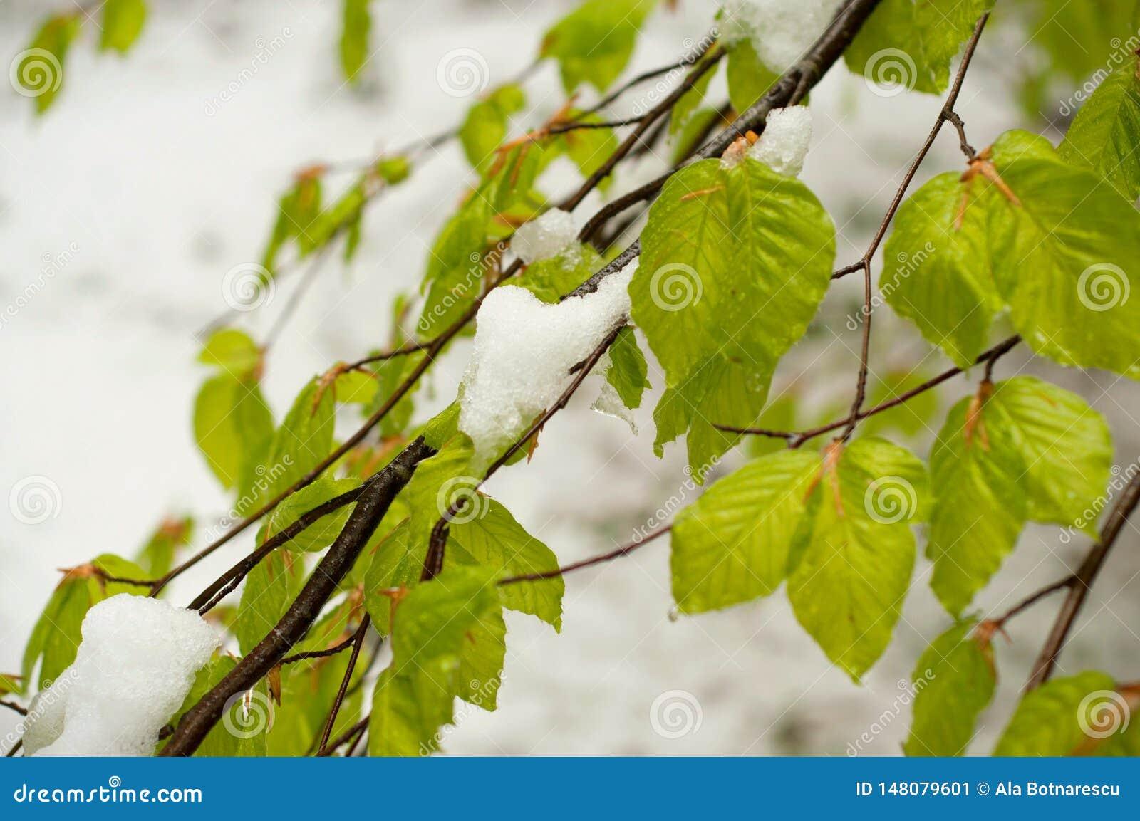 Ciclone da neve em abril Folhas verdes das ?rvores cobertas com a neve