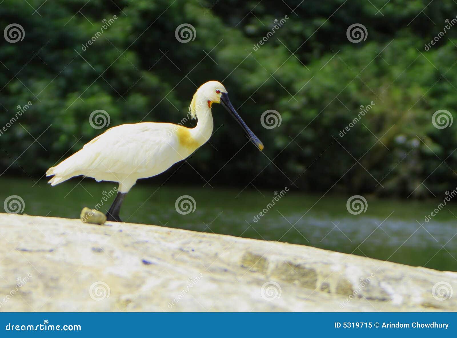 Download Cicogna Del Bill Del Cucchiaio Immagine Stock - Immagine di heron, fattura: 5319715