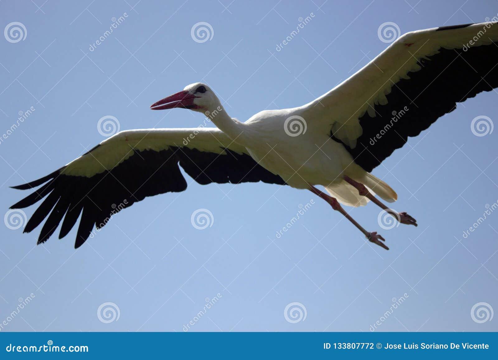 Cicogna volante sotto cielo blu, volo della cicogna in natura