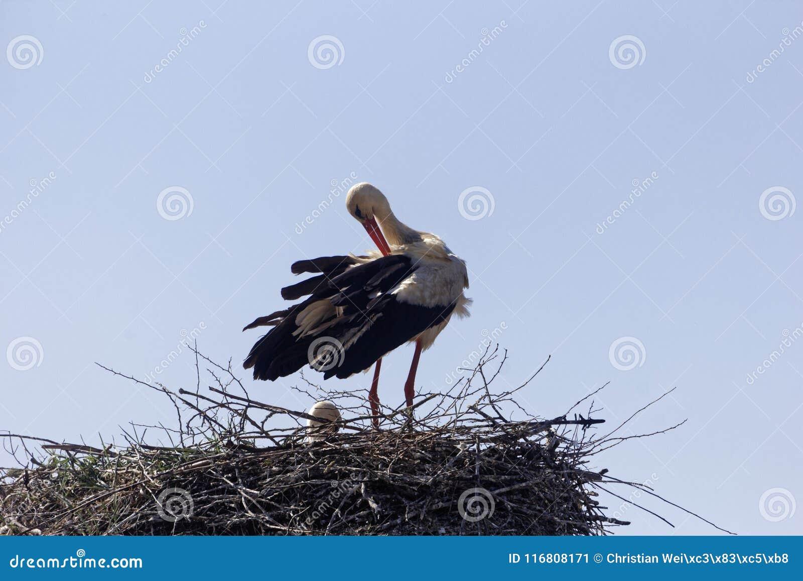 Ciconia di Ciconia della cicogna bianca sul nido