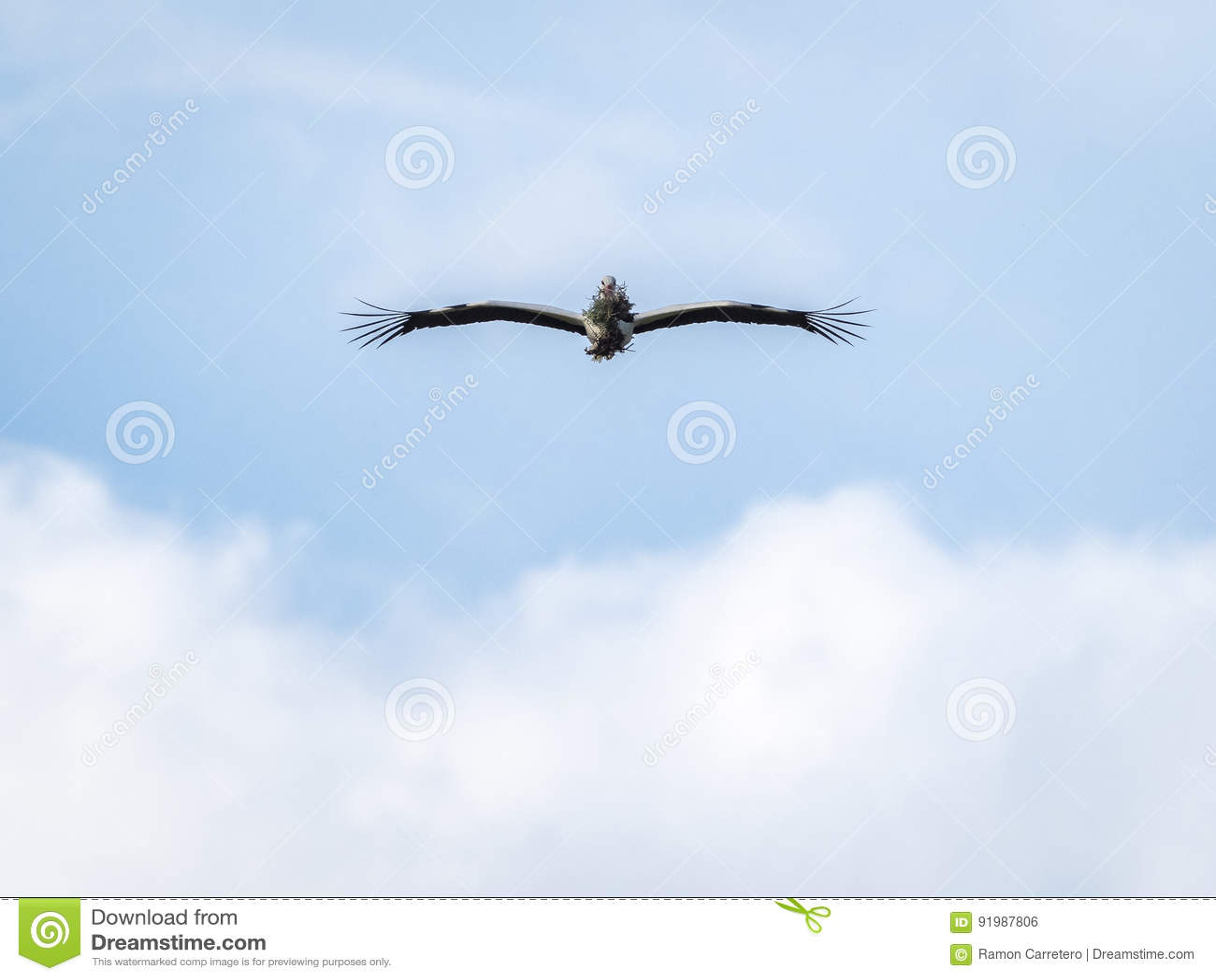 Ciconia vliegende dragende takken van ooievaarsciconia voor het nest