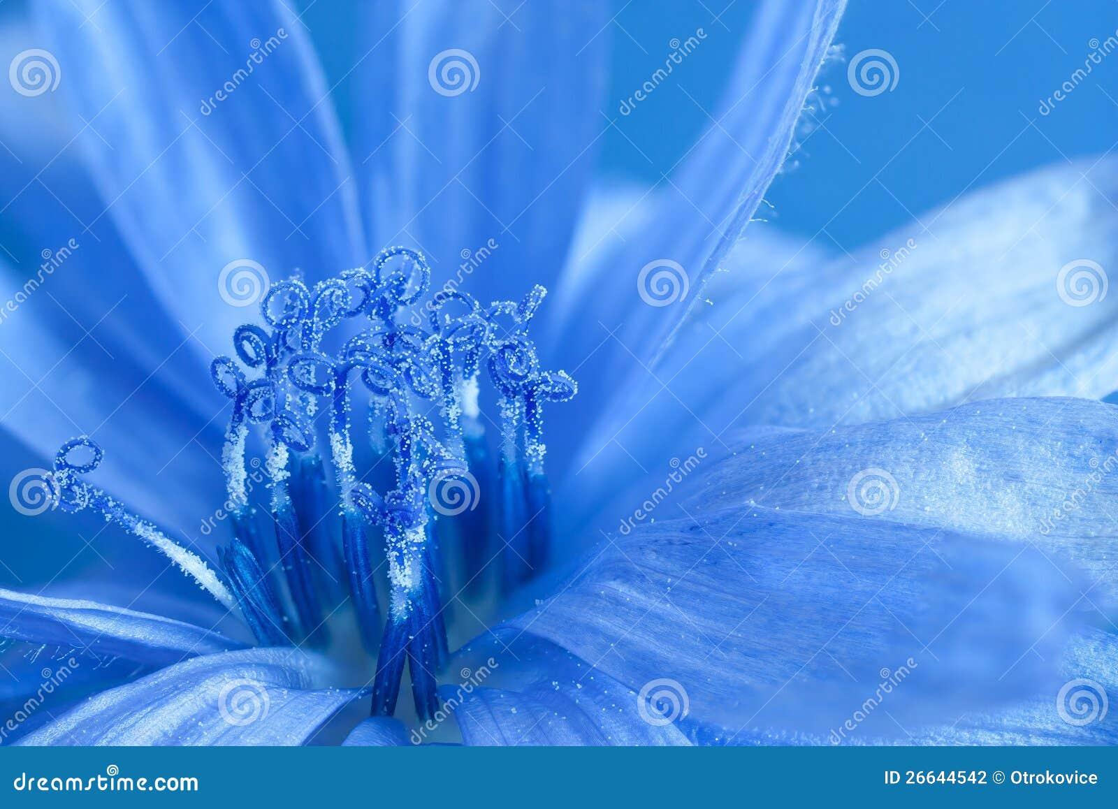 Cicoria blu