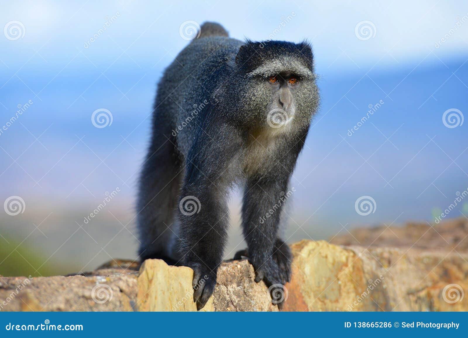 Ciekawa małpa w Ngorongoro kraterze Tanzania