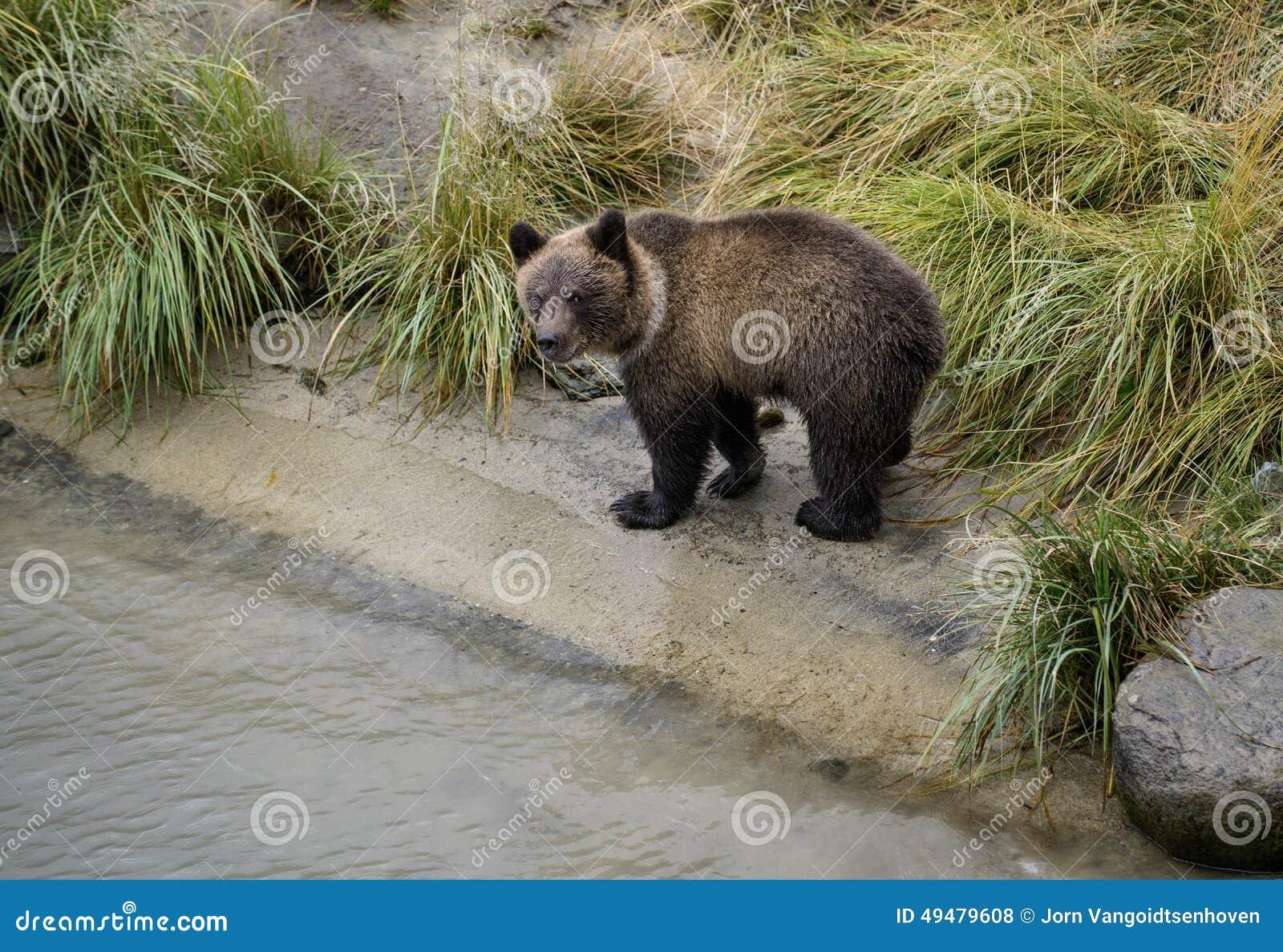Ciekawy grizzly lisiątko