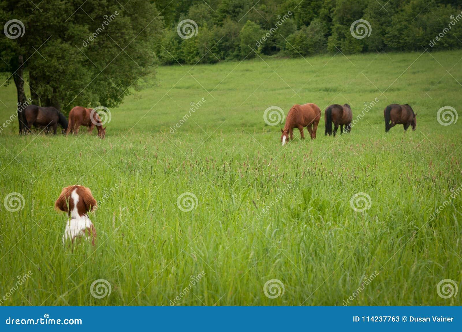 Ciekawy szczeniak z koniami na łące