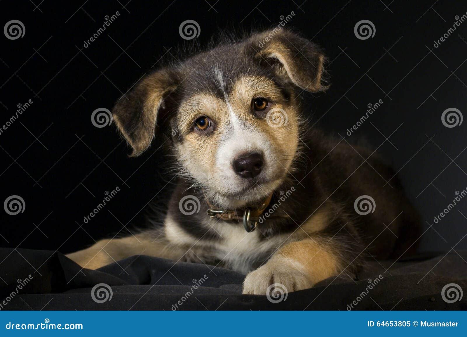 Ciekawy szczeniaka pies na czarnym tle