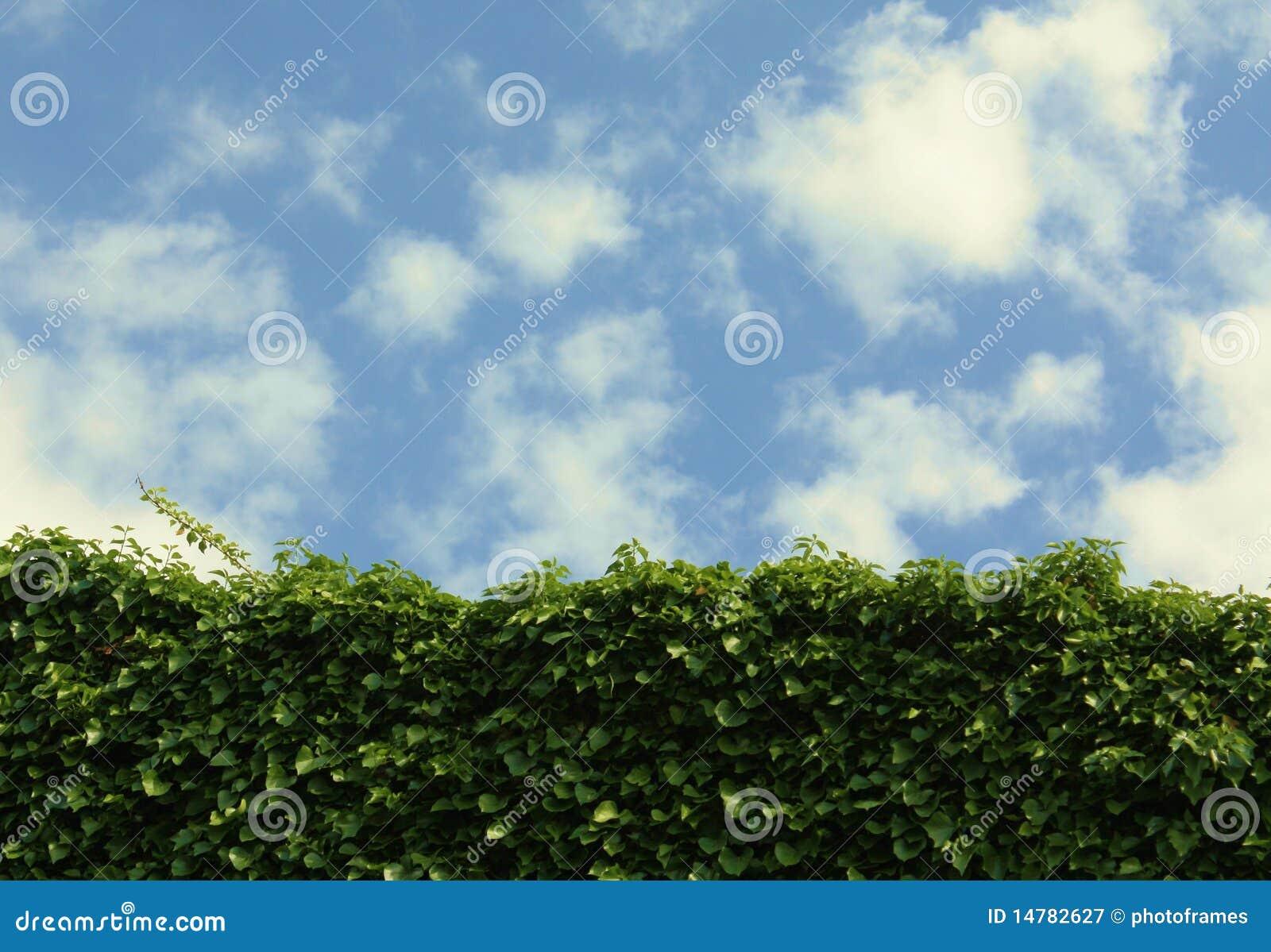ciel bleu de mur de lierre avec des nuages photographie stock libre de droits image 14782627. Black Bedroom Furniture Sets. Home Design Ideas