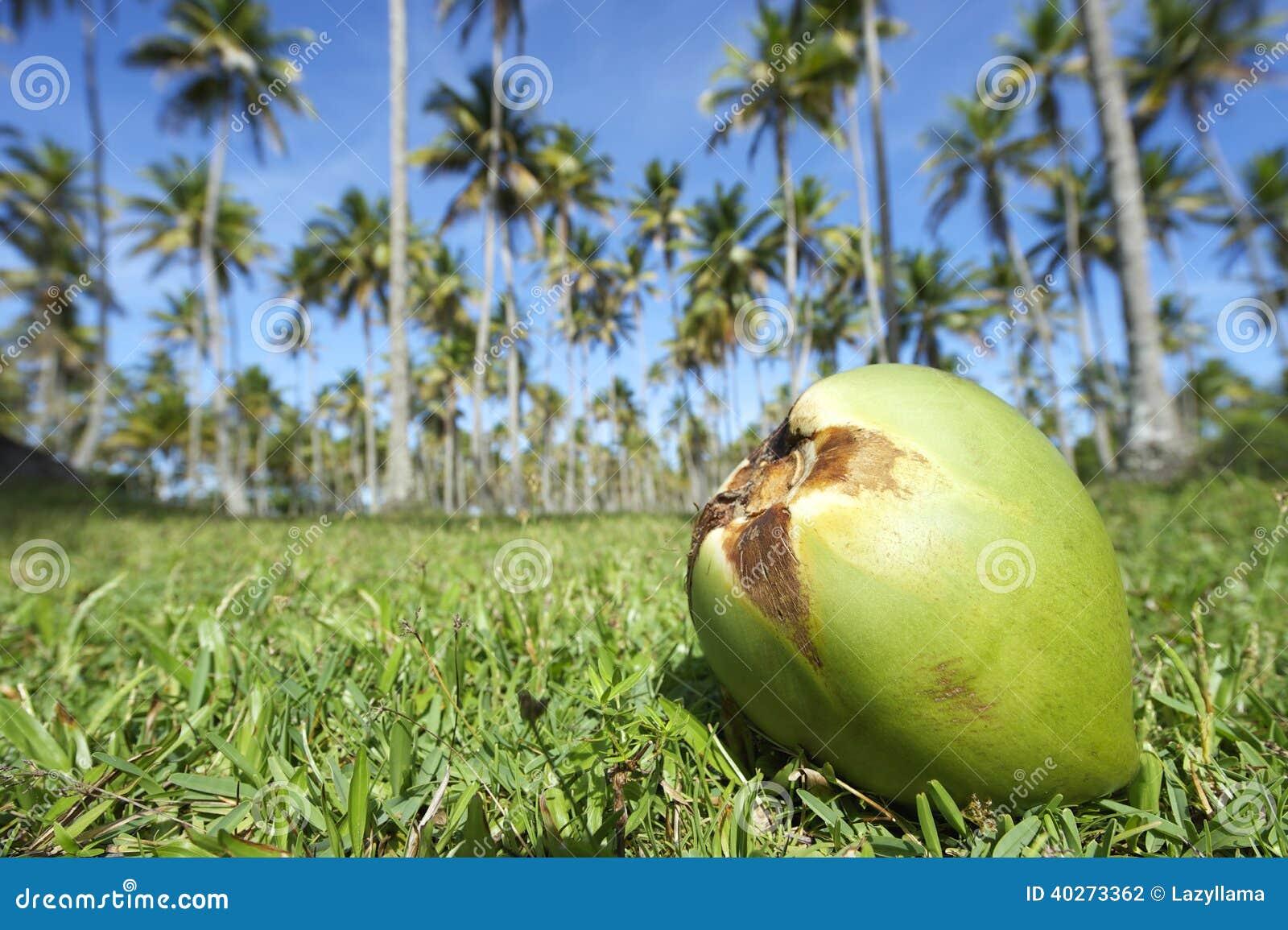 Ciel bleu de verger de palmiers d 39 herbe verte de noix de - Palmier noix de coco ...