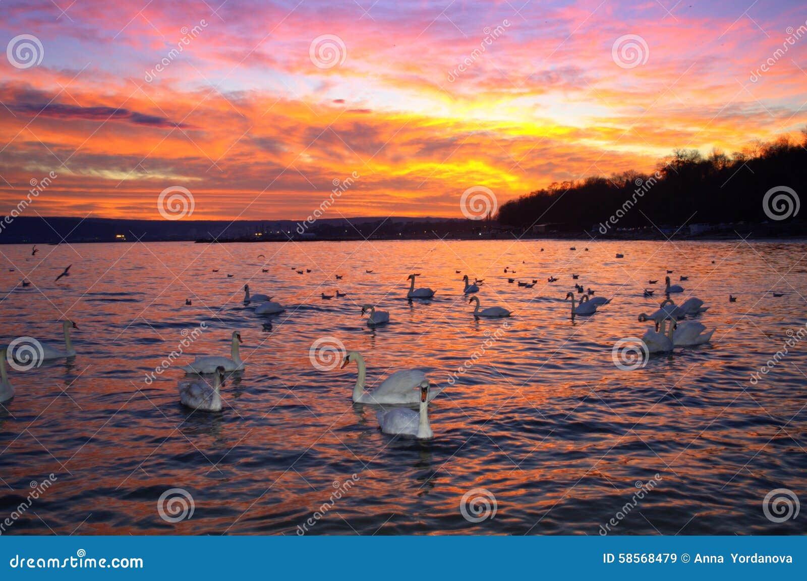Ciel et cygnes spectaculaires de coucher du soleil
