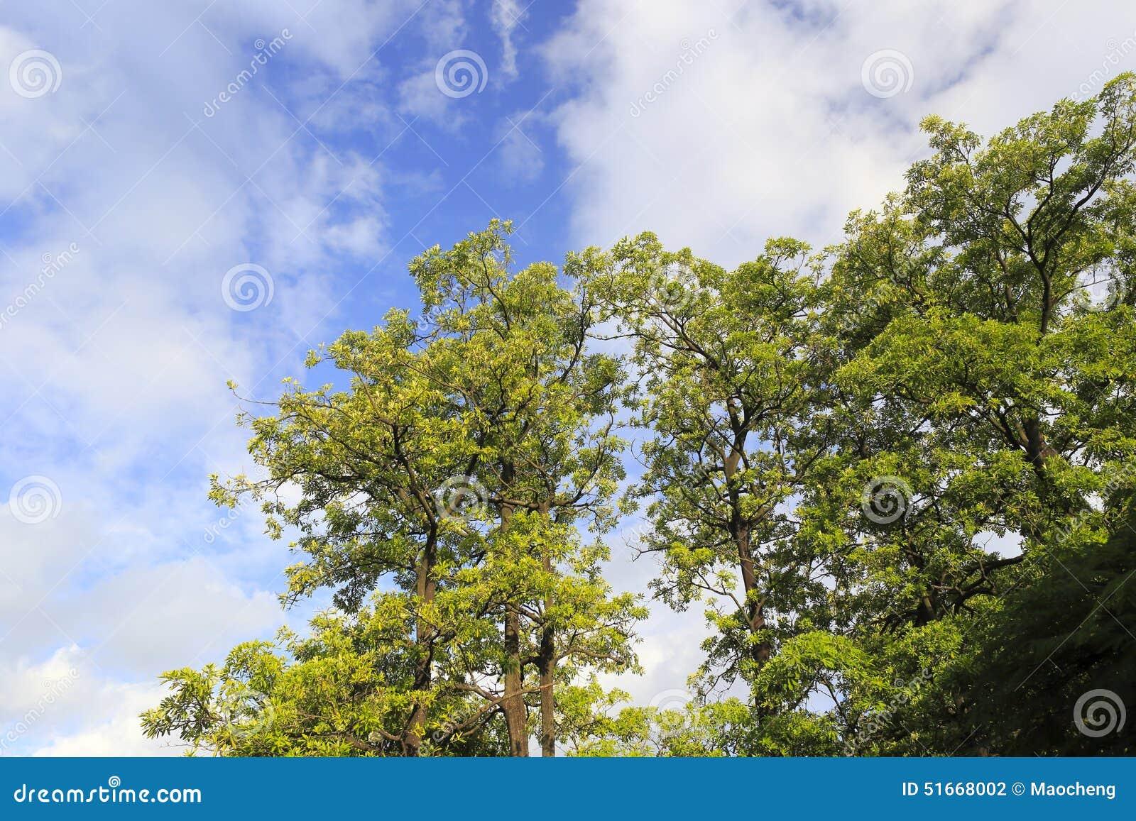 ciel nuage et arbre - Arbre Ciel