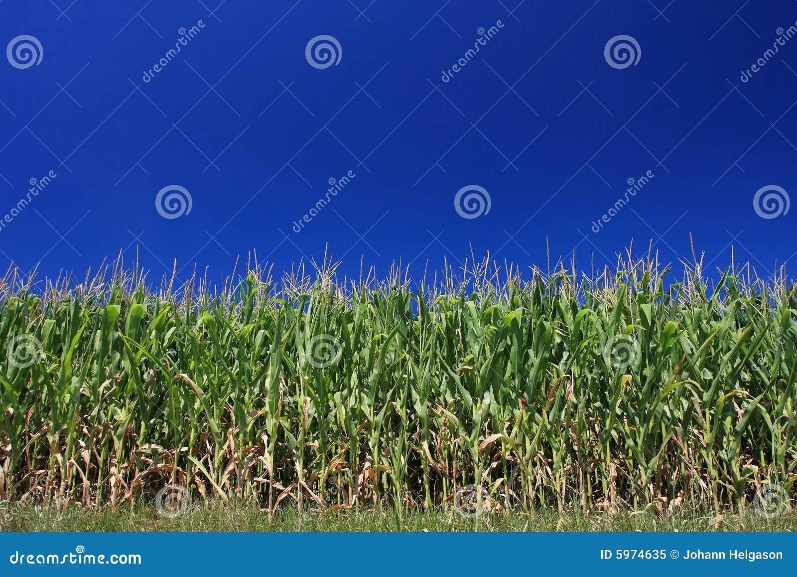 Ciel sans nuages de maïs