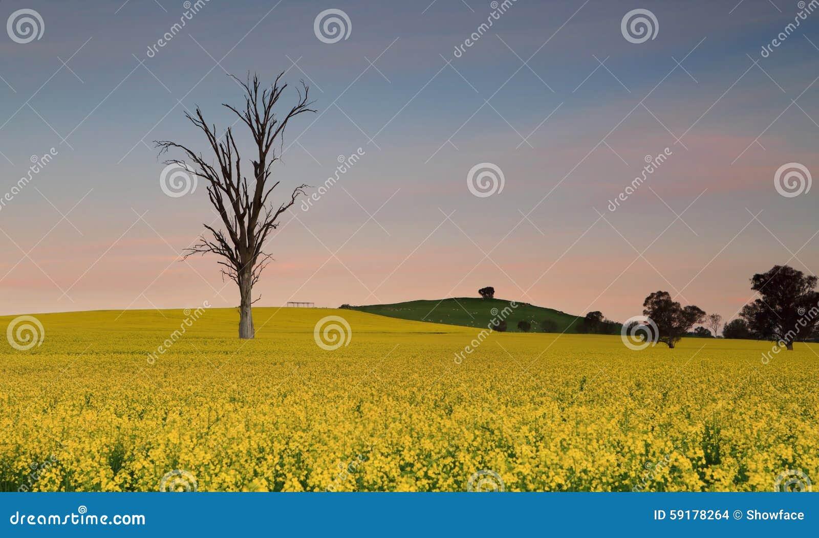 Cieli di crepuscolo sopra i giacimenti del canola del terreno coltivabile