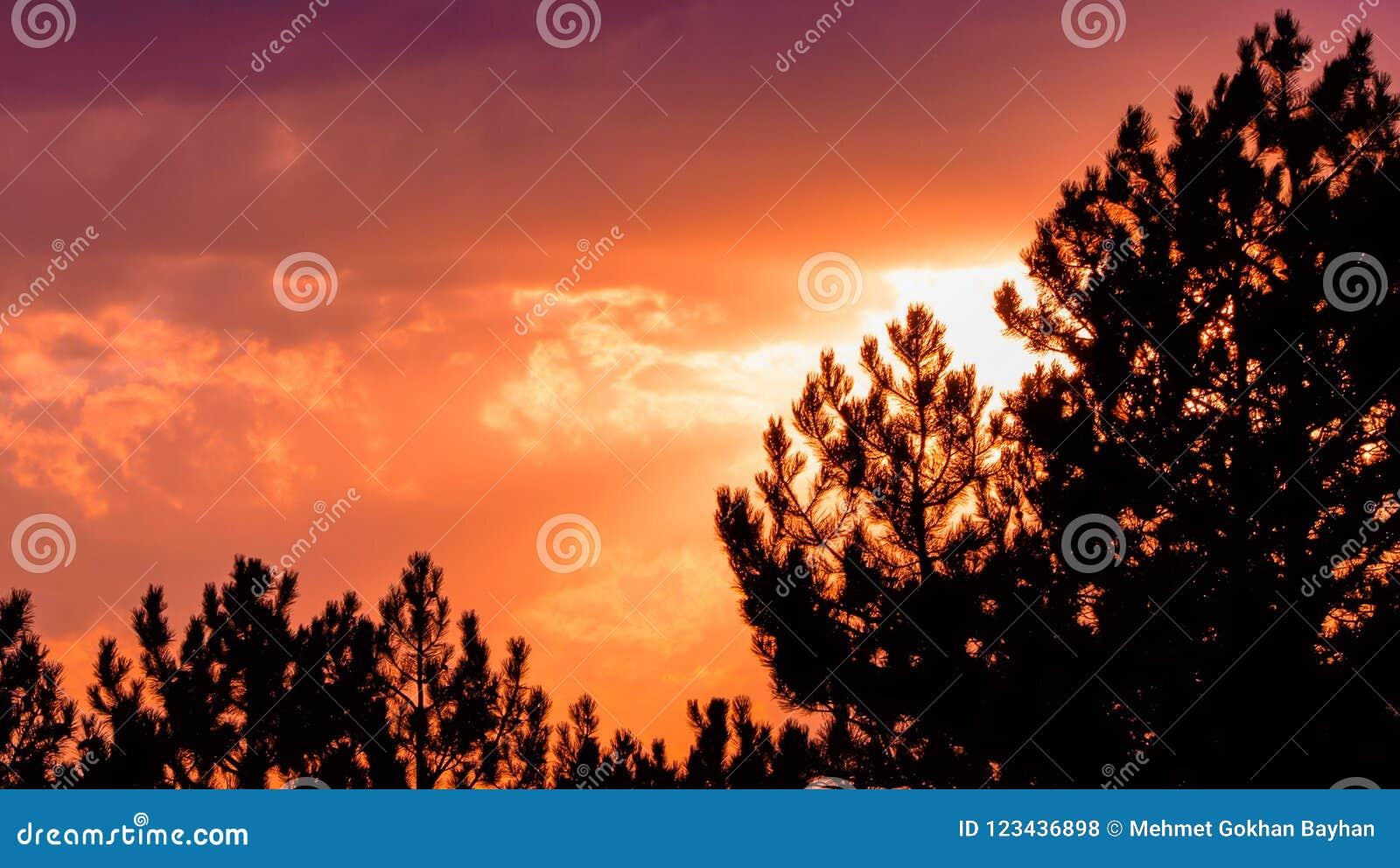 Cielo arancio di tramonto di colore con la siluetta dei pini
