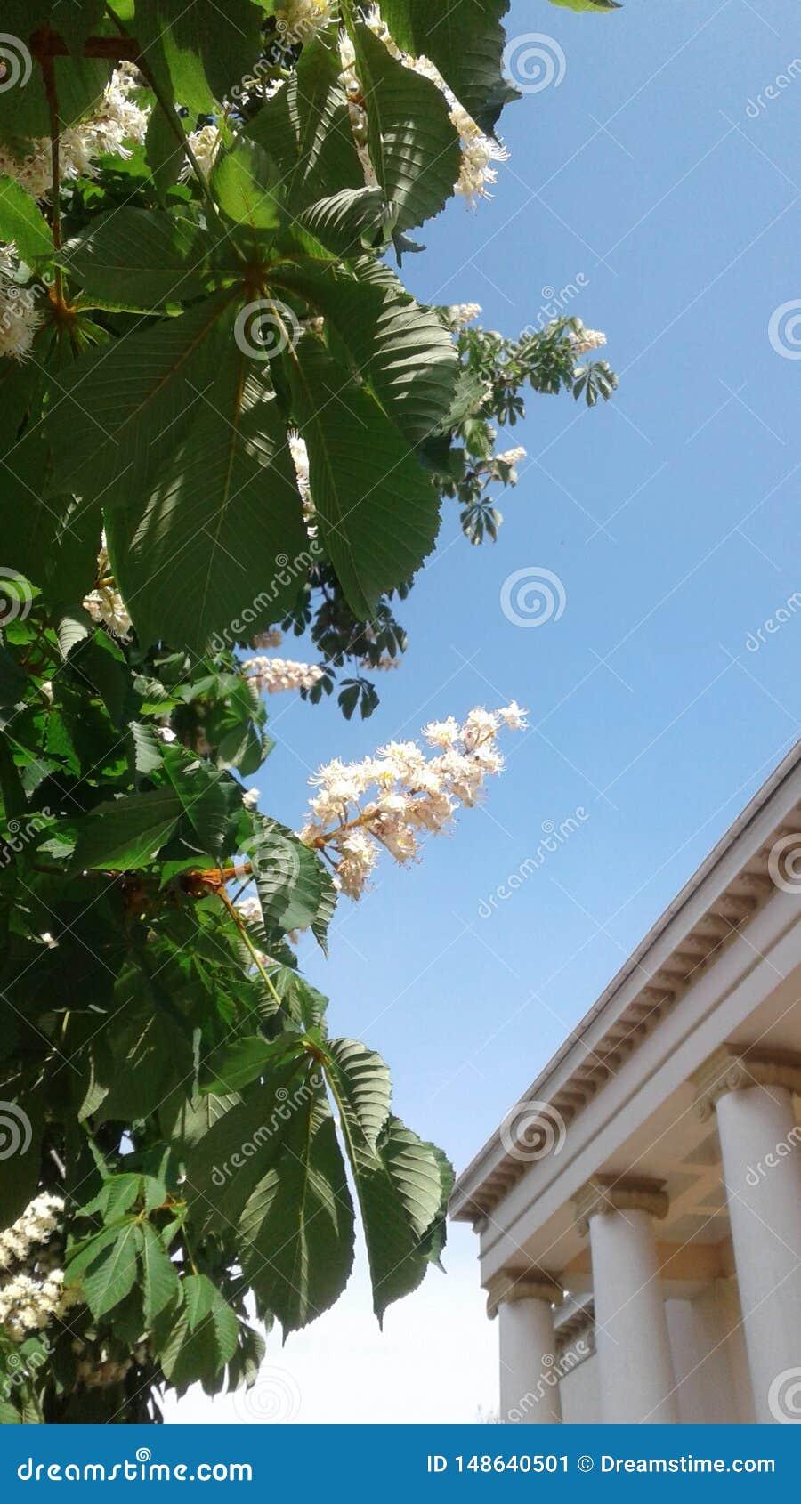 Cielo azul claro Flores pintorescos hermosos de la castaña columnas del arge adornadas con el volute espiral