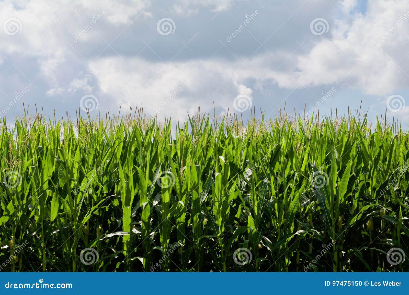 Cielo blu, cereale verde