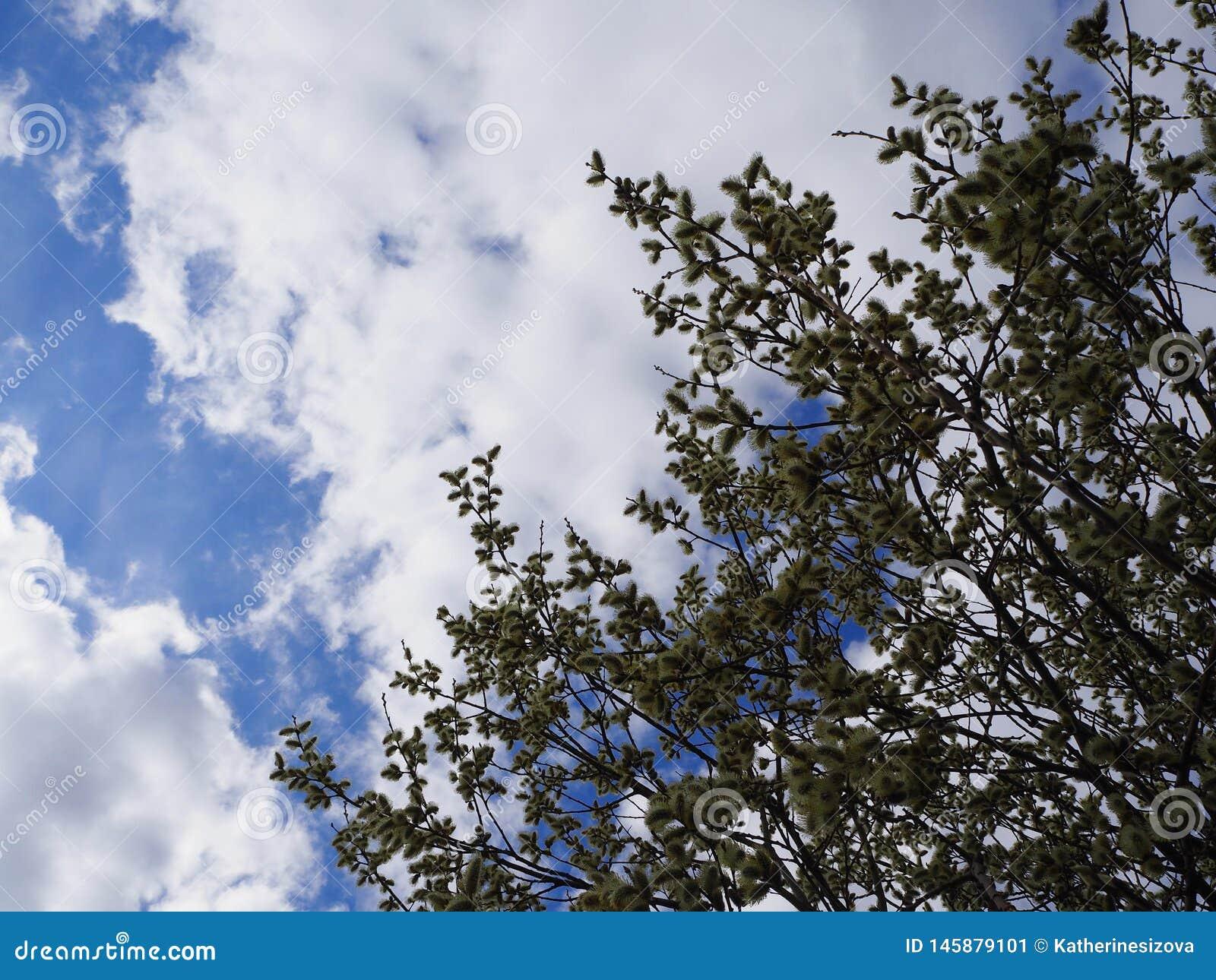 Cielo blu con le nuvole e i leafes dell albero