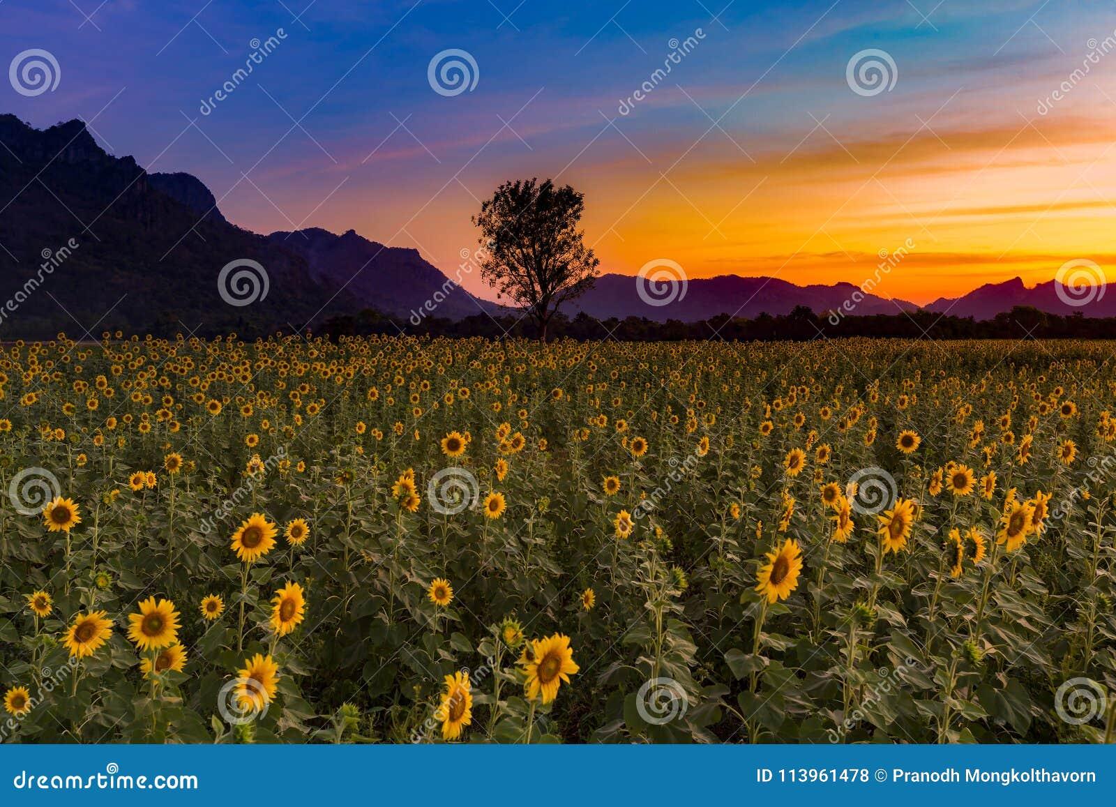 Cielo dramático de la puesta del sol sobre campo del girasol
