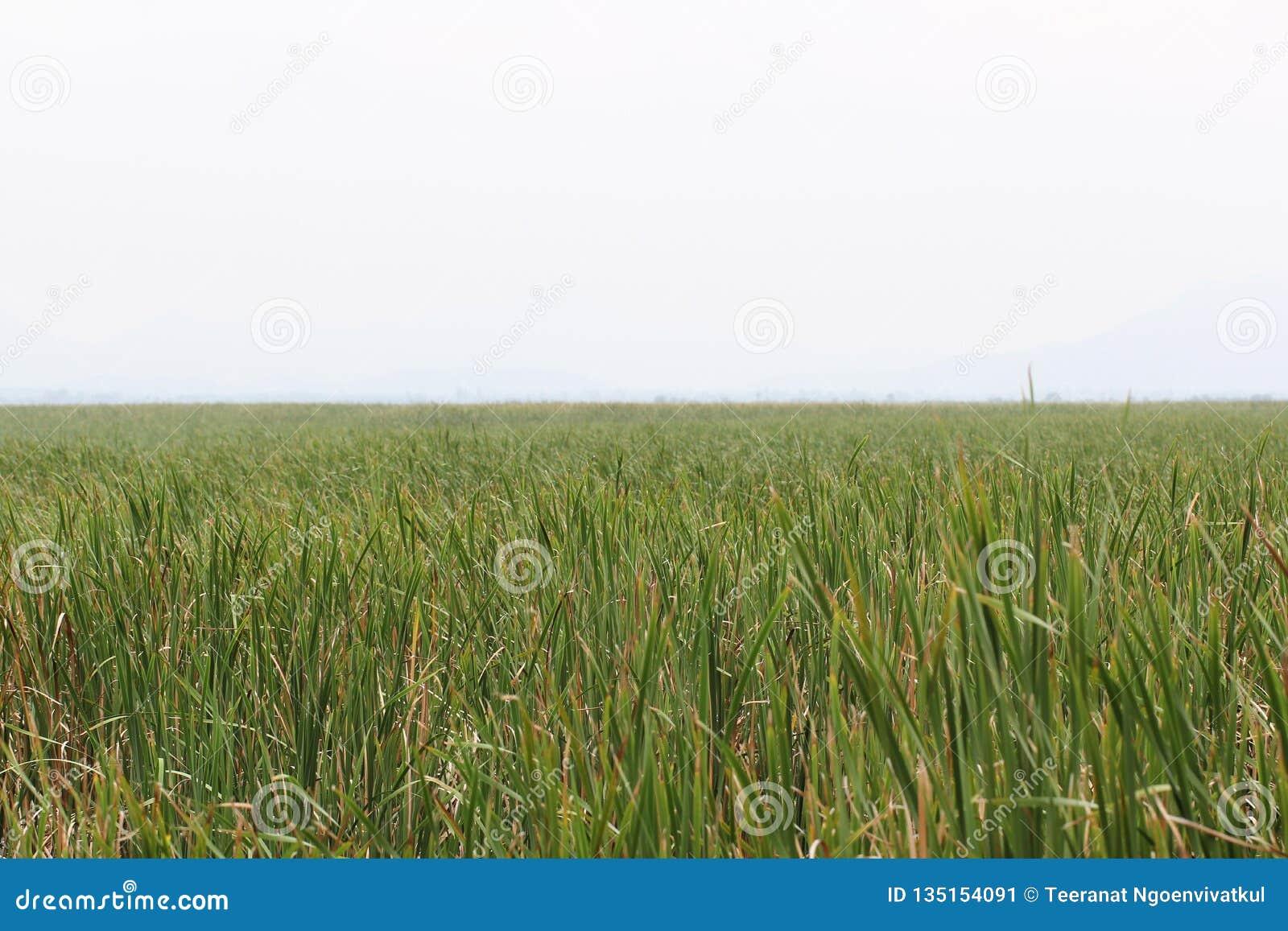 Cielo nublado y refugio entre fondos verdes de la hierba de la naturaleza adentro temprano de la estación de verano, situación pa