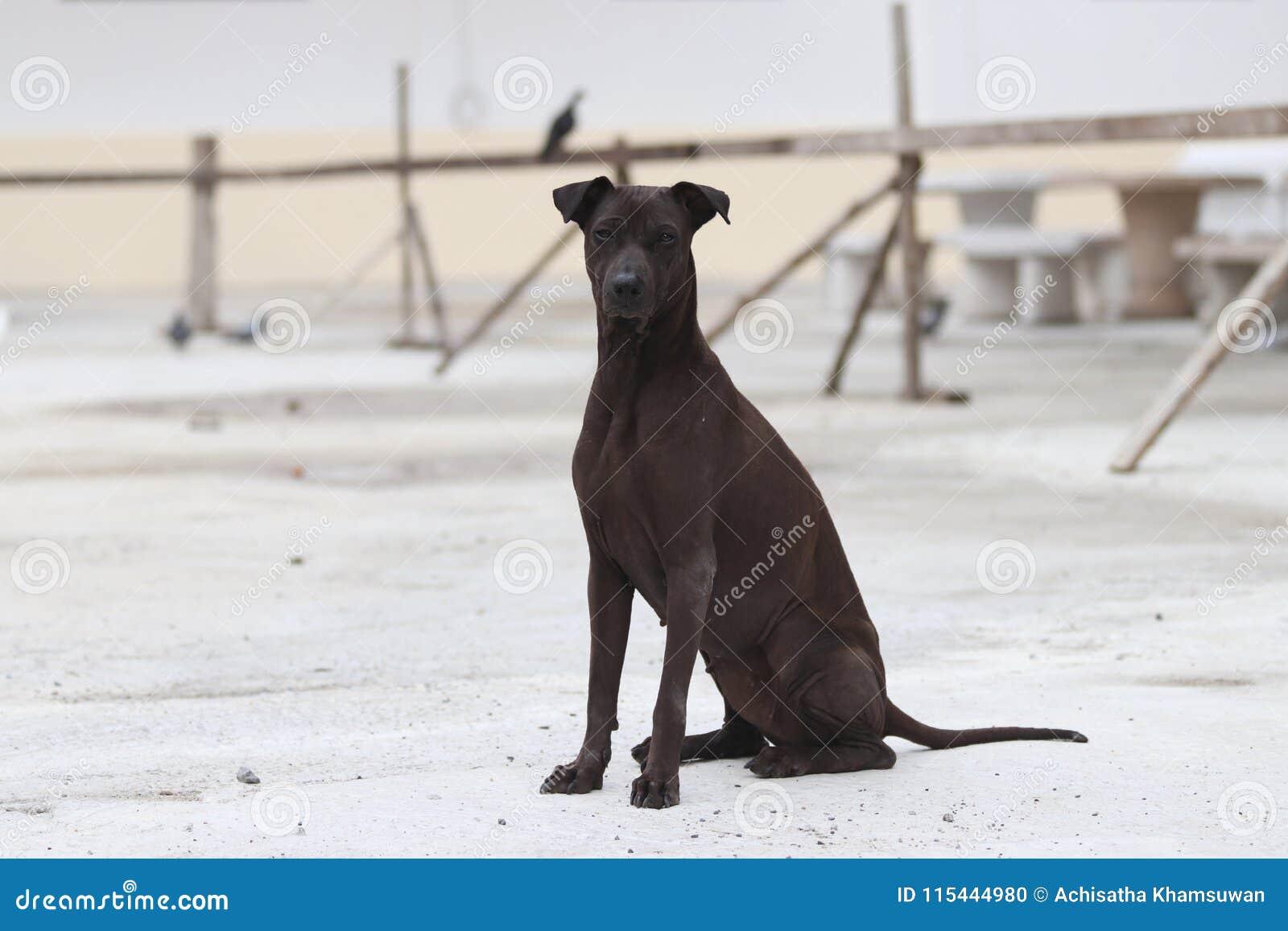 Ciemnego brązu psa obsiadanie na beton ziemi udomowiający mięsożerny ssak który typowo długą dyszę