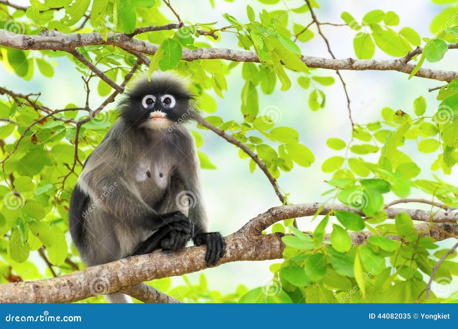 Ciemniusieńka liść małpa lub Trachypithecus obscurus na drzewie