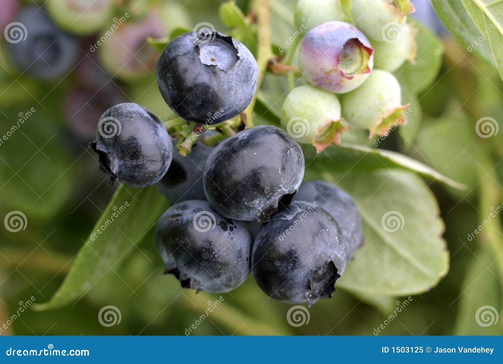 Ciemno niebieskie jagody makro naturalne