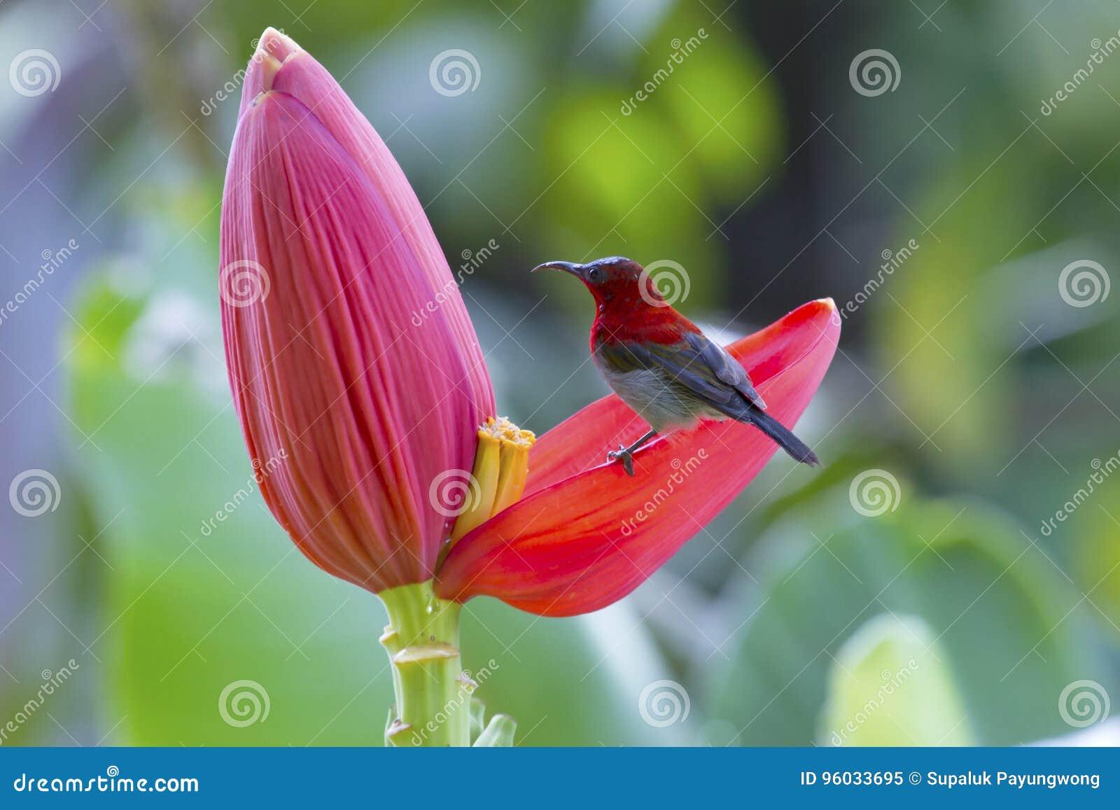 Ciemnopąsowy sunbird