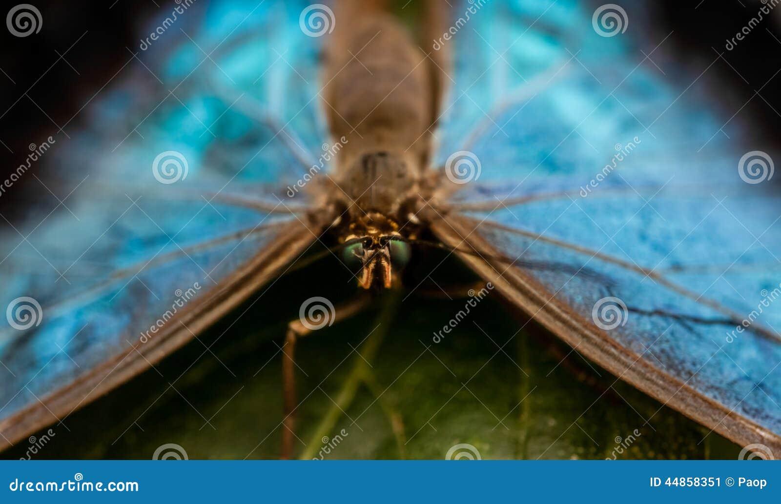 Cierre azul de la mariposa del morpho de Peleides para arriba