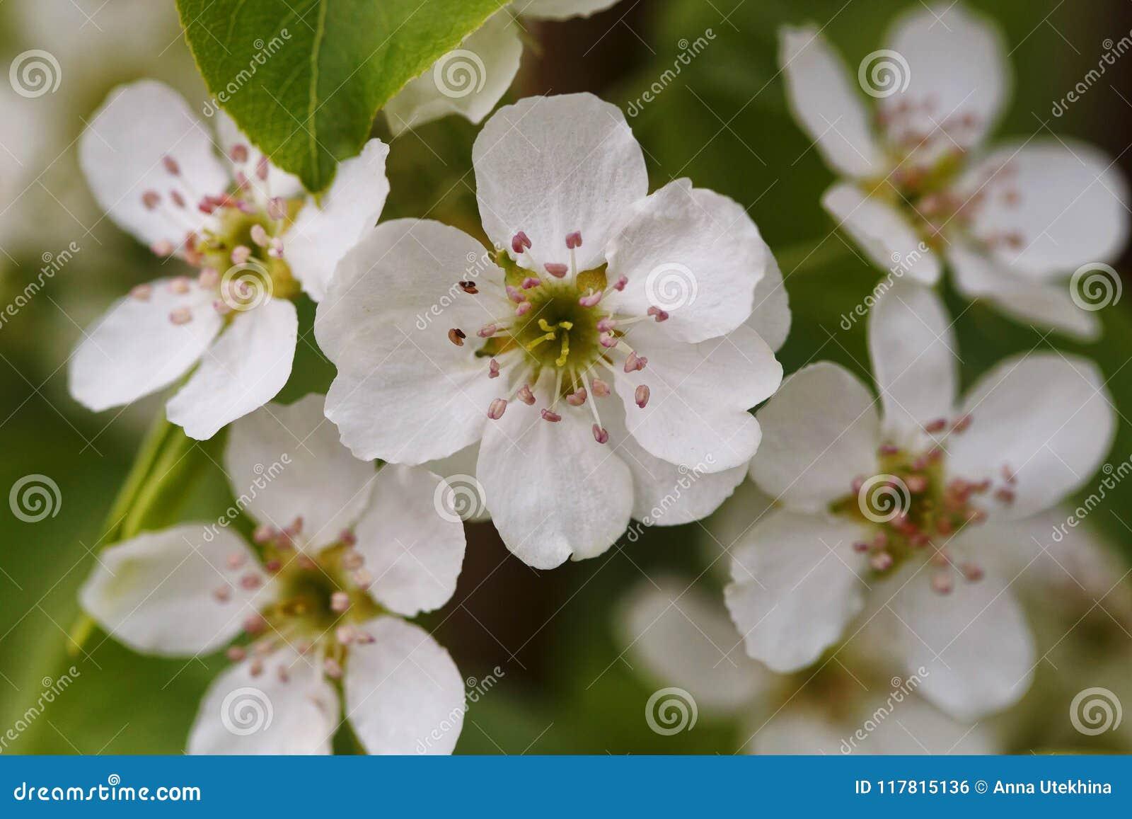 Cierre de la flor del peral del flor para arriba