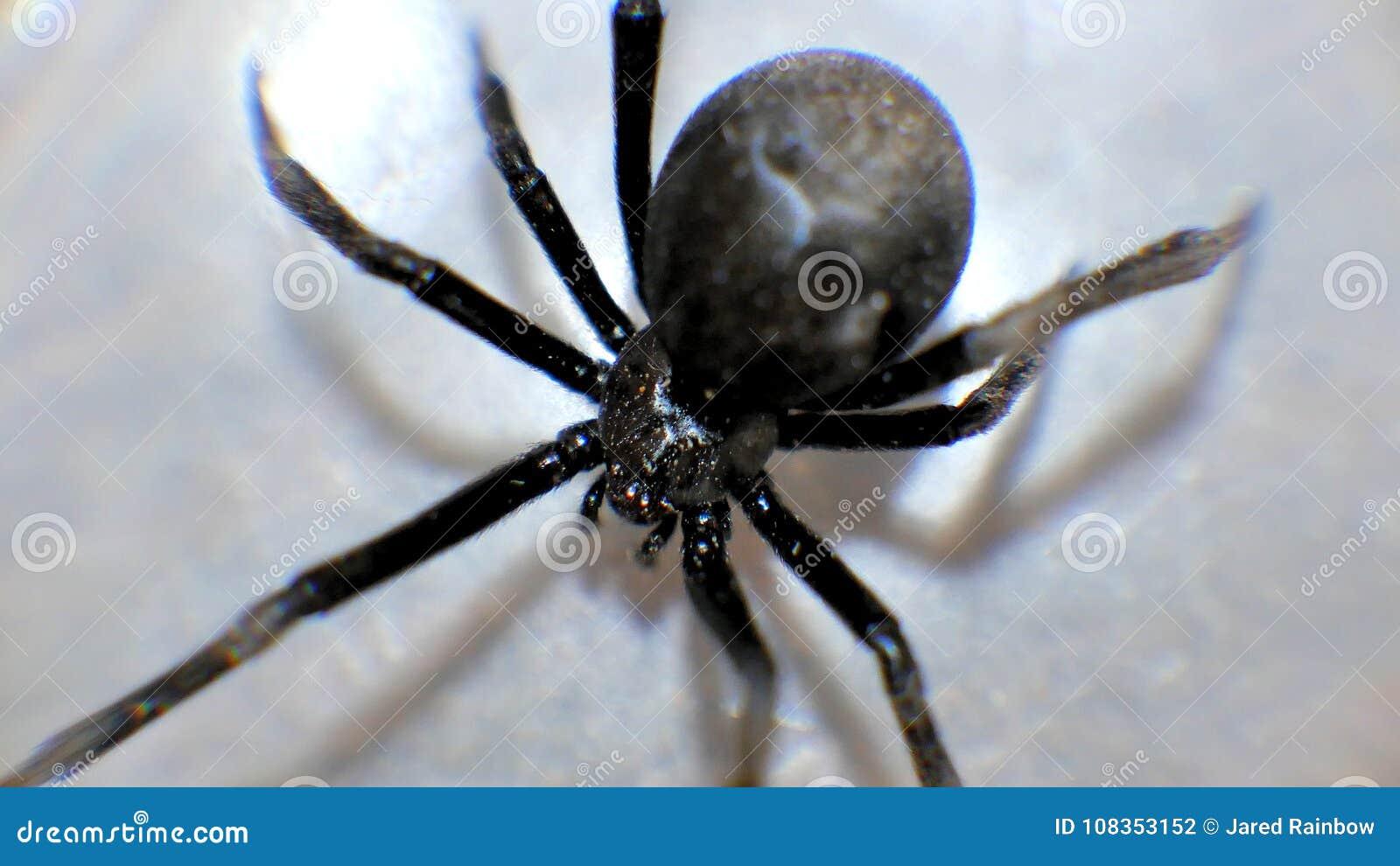 Cierre de la macro de la viuda negra encima de las arañas espeluznantes