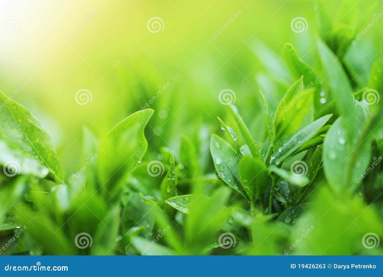 Cierre de la plantación de té encima del fondo