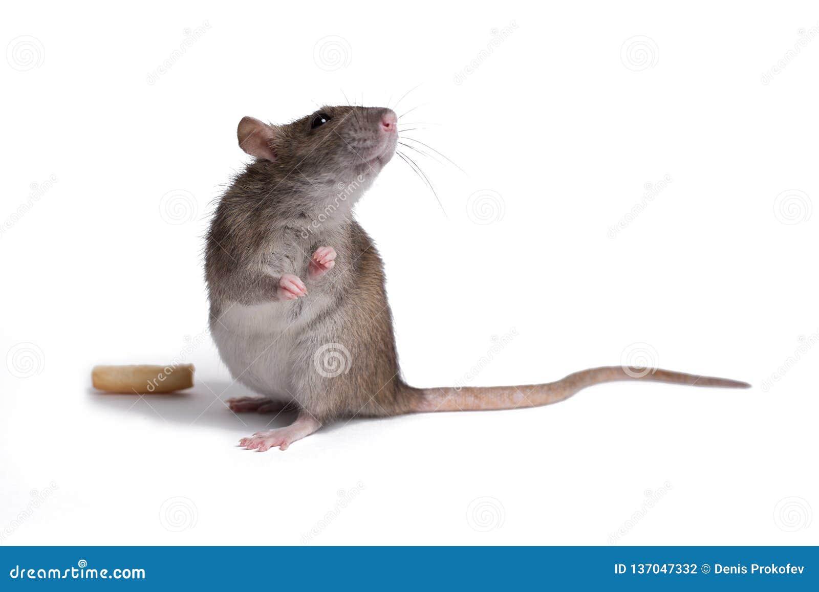 Cierre de la rata encima del aislante en blanco