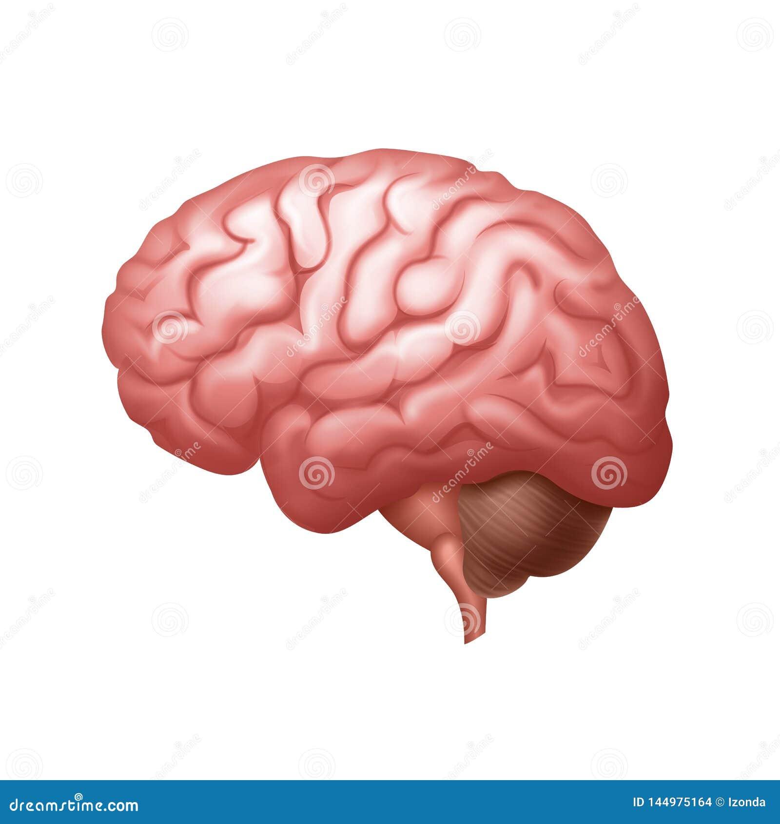 Cierre de la vista lateral del cerebro humano del rosa del vector para arriba aislado en fondo