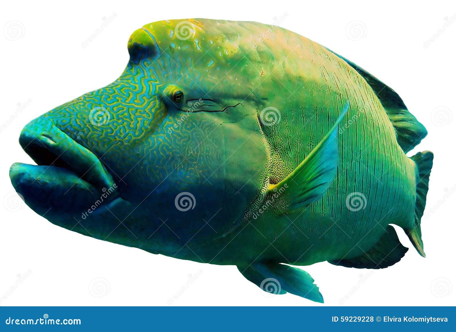 Download Cierre De Napoleon Fish Del Mar Rojo Encima Del Retrato Foto de archivo - Imagen de grande, fondo: 59229228