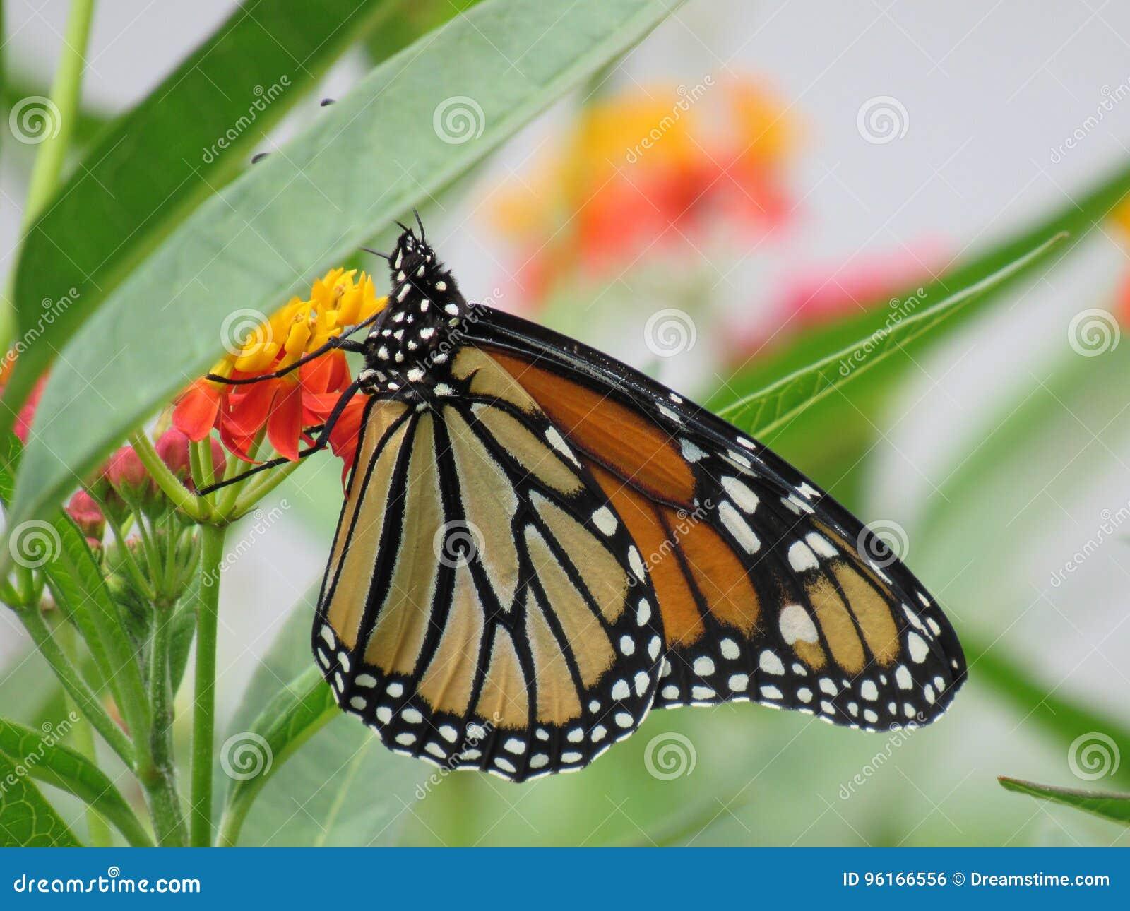 Cierre de polinización de la flor de la mariposa hermosa para arriba